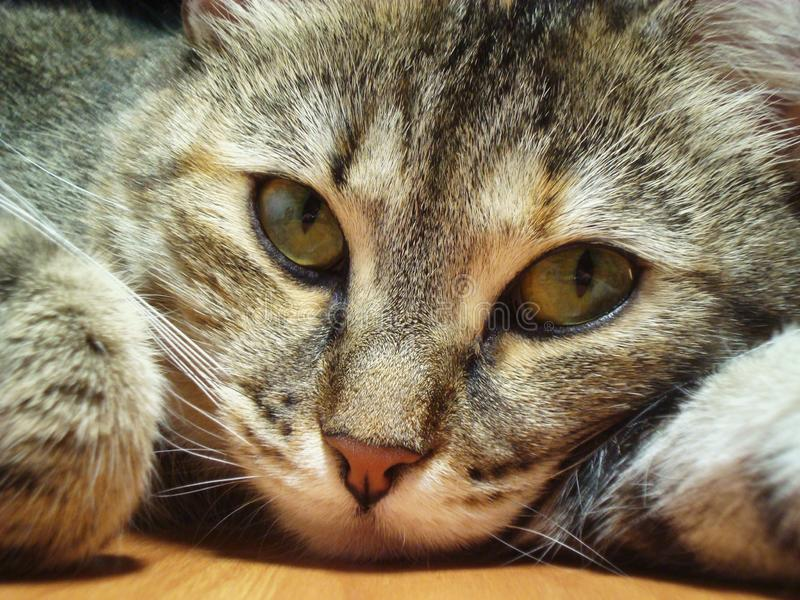 Lo sguardo fisso minaccioso del gatto fotografie stock libere da diritti