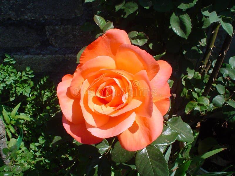 Lo speciale arancio è aumentato fotografia stock