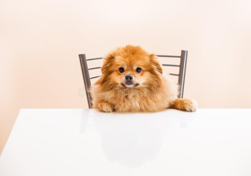 Lo Spitz sta sedendosi alla tavola su una sedia fotografia stock