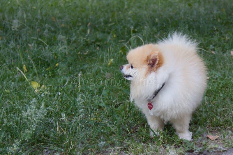 Lo Spitz tedesco sta nell'erba dell'estate con basso dai denti di leone fotografia stock libera da diritti