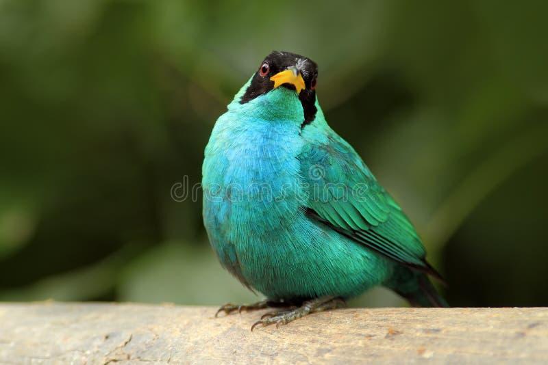 Lo spiza verde di Chlorophanes, di Honeycreeper, il verde malachite tropicale esotico e l'uccello del blu formano Costa Rica fotografia stock libera da diritti