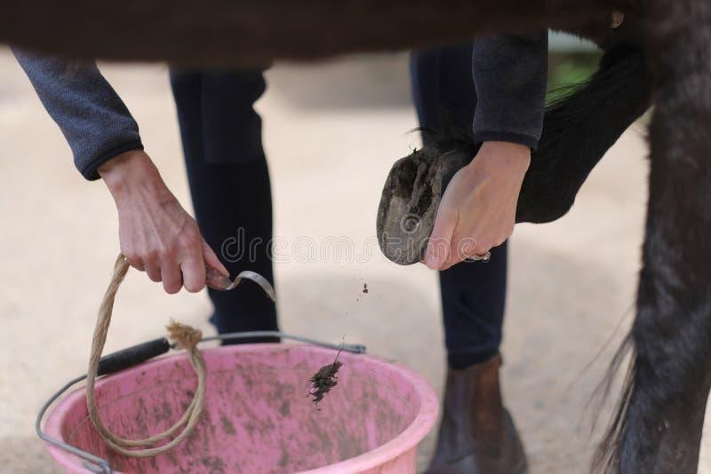 Lo sposo pulisce gli zoccoli del cavallo immagine stock libera da diritti