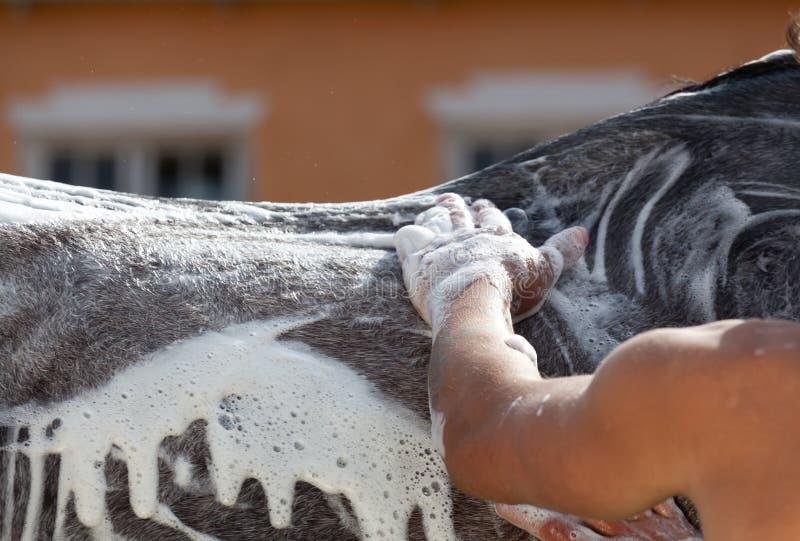 Lo sposo su una stalla lava un cavallo immagine stock