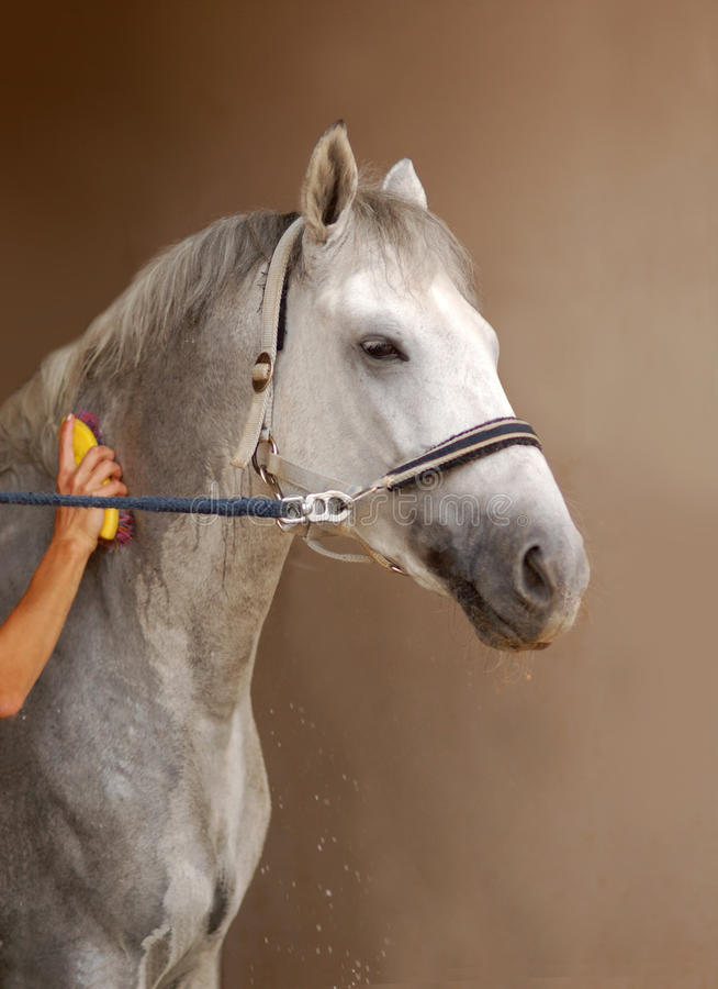 Lo sposo su una stalla lava un cavallo con schiuma fotografia stock libera da diritti