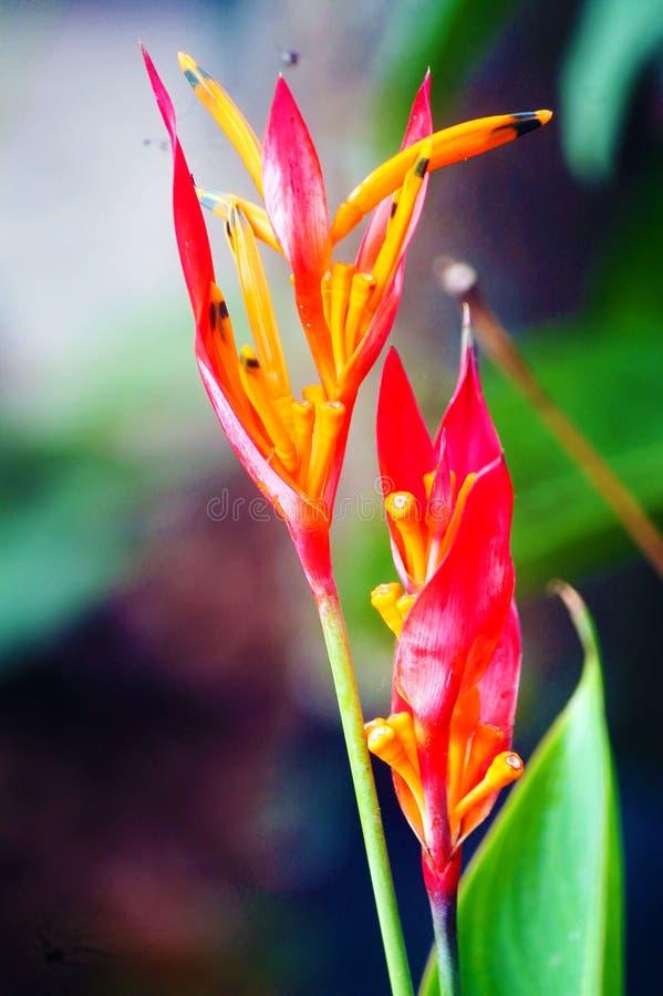 Lo sprengeri del Tulipa nel mio giardino fotografie stock libere da diritti