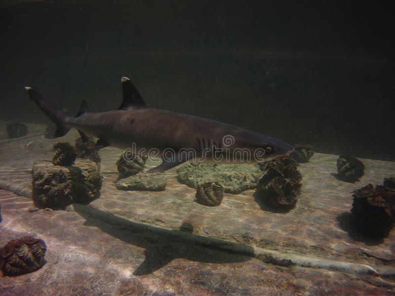 Lo squalo bianco di punta segue la sua ombra fotografie stock libere da diritti