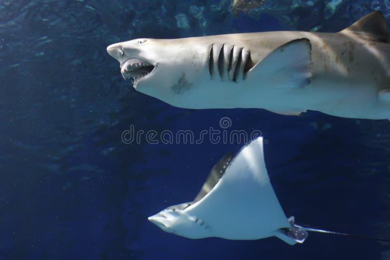 Lo squalo e la rampa hanno sommerso nei raggi di indicatore luminoso fotografia stock