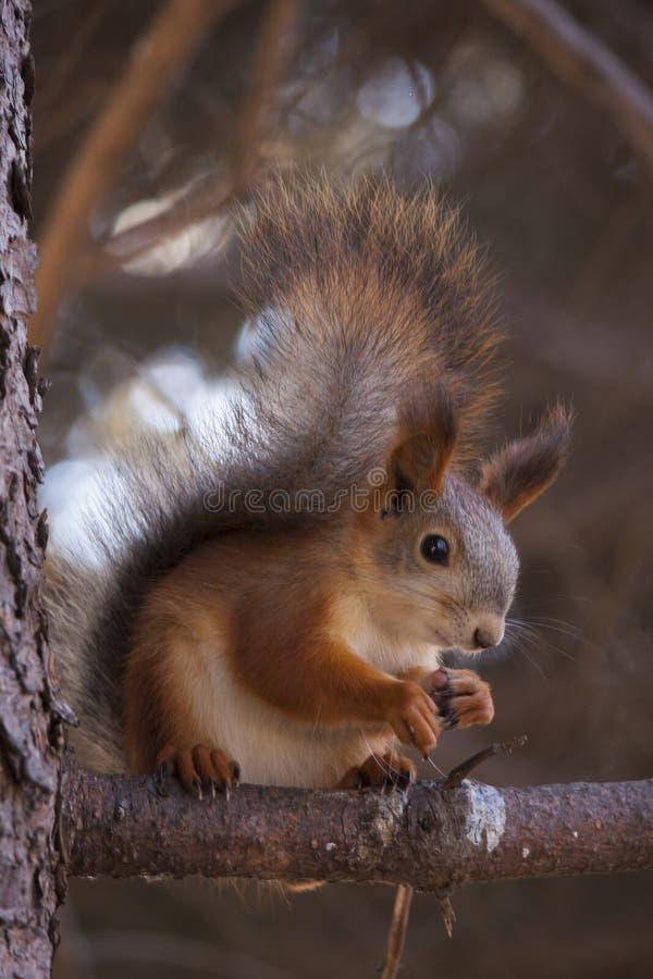 Lo squirrell sul ramo fotografie stock libere da diritti
