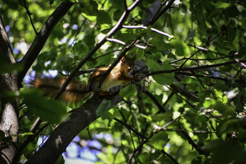 Lo squrrel & il x28 rossi; vulgaris& x29 dello sciurus; si siede su un ramo e pensa che cosa fare fotografia stock