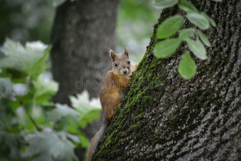 Lo squrrel rosso ( sciurus vulgaris) esamina umano e pensa che cosa fare fotografie stock