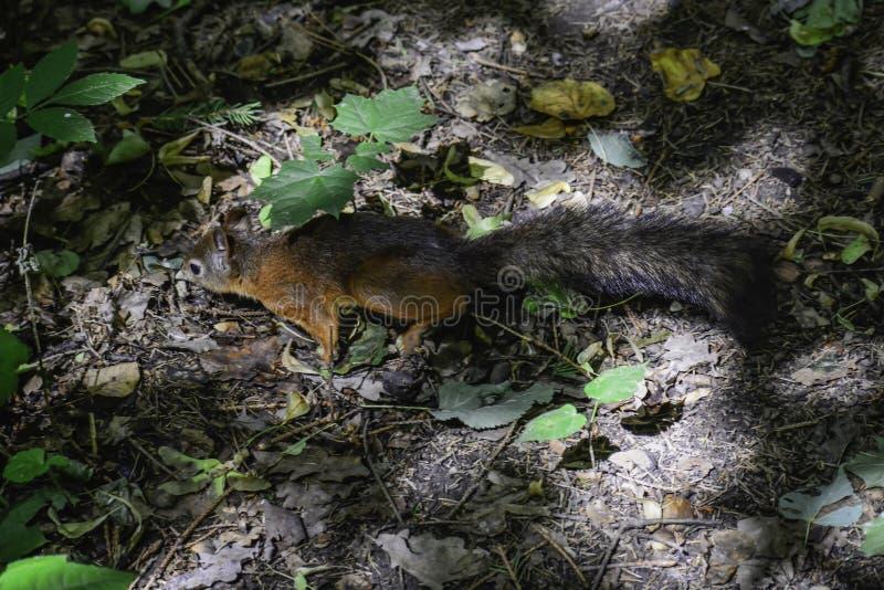 Lo squrrel rosso ( sciurus vulgaris) funzionamenti che provano a trovare un certo alimento per nascondersi fotografie stock