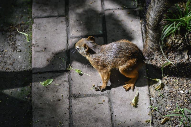 Lo squrrel rosso ( sciurus vulgaris) funzionamenti su una terra che prova a trovare un certo alimento per nascondersi fotografia stock libera da diritti