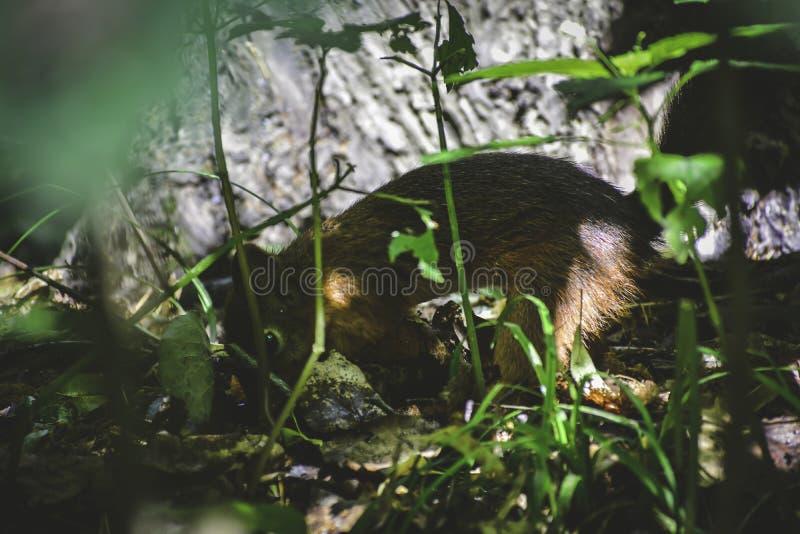 Lo squrrel rosso ( sciurus vulgaris) nasconde it' dado di s sotto le foglie per conservare le riserve per l'inverno immagine stock