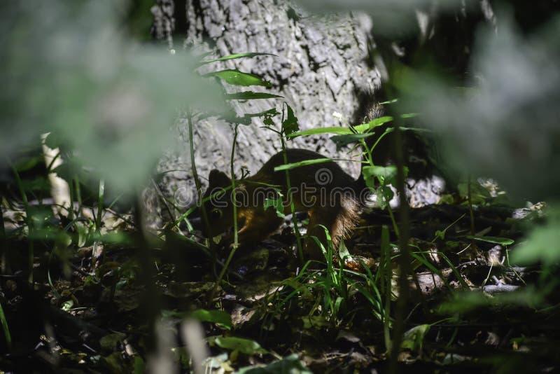 Lo squrrel rosso ( sciurus vulgaris) nasconde it' dado di s sotto le foglie per conservare le riserve per l'inverno immagini stock