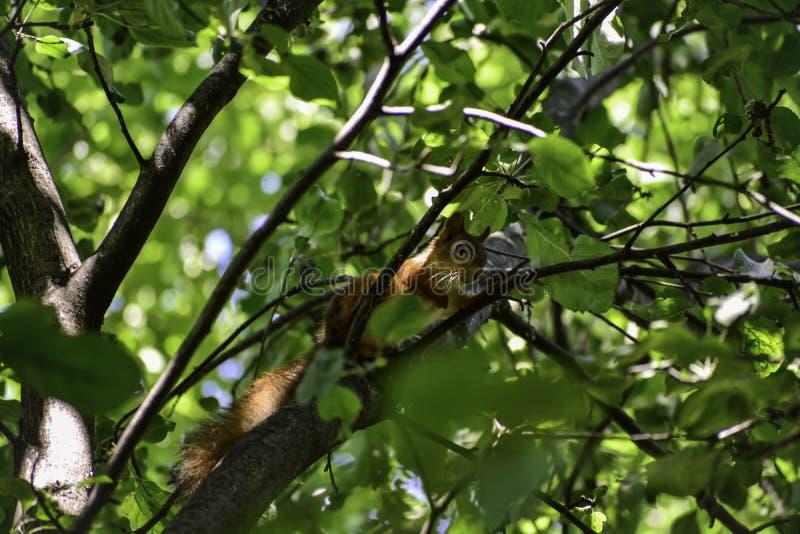 Lo squrrel rosso ( sciurus vulgaris) si siede su un ramo e pensa che cosa fare fotografia stock
