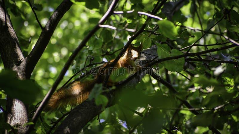 Lo squrrel rosso ( sciurus vulgaris) si siede su un ramo e pensa che cosa fare fotografia stock libera da diritti
