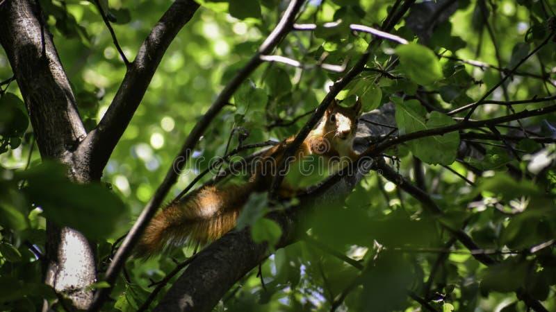 Lo squrrel rosso ( sciurus vulgaris) si siede su un ramo e pensa che cosa fare fotografie stock