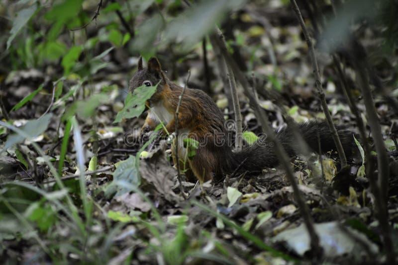 Lo squrrel rosso ( sciurus vulgaris) supporti su una terra che prova a trovare un certo alimento per nascondersi fotografia stock libera da diritti