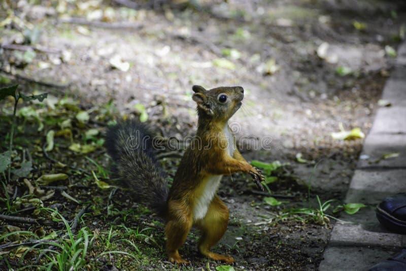 Lo squrrel rosso ( sciurus vulgaris) supporti vicino all'essere umano ed aspettare alcuni dadi da loro immagini stock libere da diritti