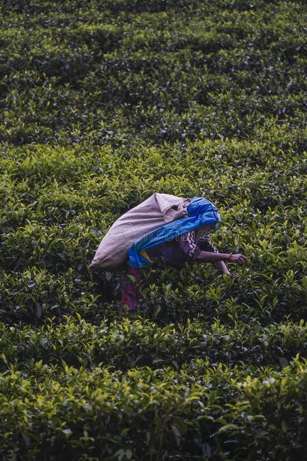 Lo Sri Lanka - 3 ottobre 2018; lavoratore che seleziona le foglie di tè sul campo nello Sri Lanka fotografie stock libere da diritti