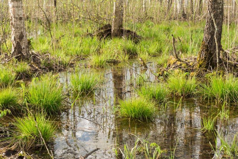 lo stagno nella foresta, nell'acqua i tronchi di albero e del cielo blu è riflesso, sui mazzi coltiva la prima erba della molla f immagine stock