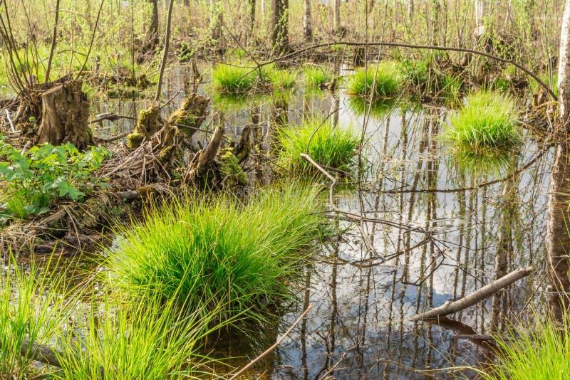 lo stagno nella foresta, nell'acqua i tronchi di albero e del cielo blu è riflesso, sui mazzi coltiva la prima erba della molla f immagini stock libere da diritti