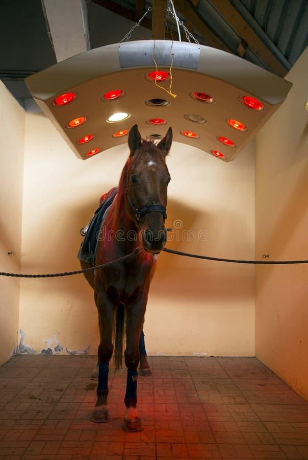 Lo stallone del purosangue gode del solarium equino sulla fattoria degli animali rurale fotografie stock libere da diritti