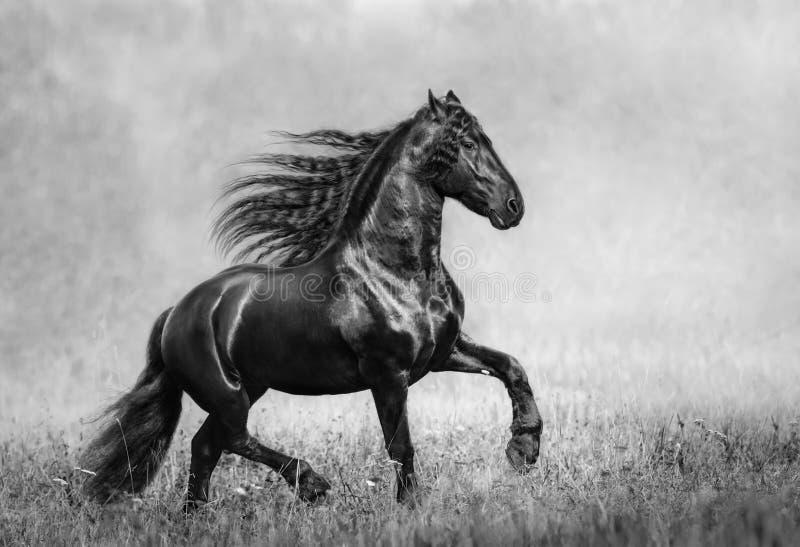 Lo stallone frisone nero nel campo nebbioso di autunno immagine stock