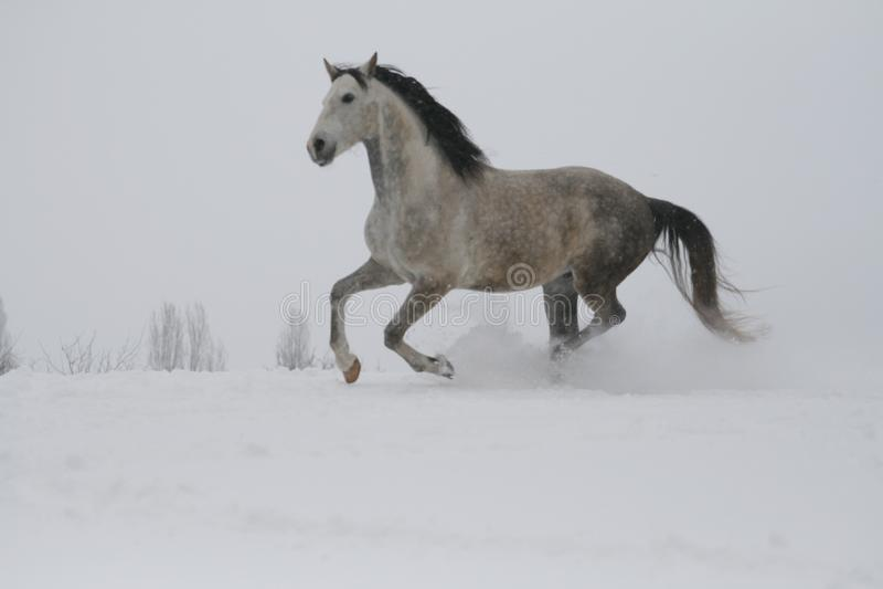 Lo stallone grigio che galoppa sul pendio nella neve fotografie stock libere da diritti