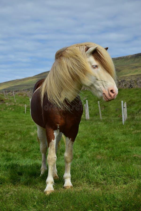 Lo stallone islandese nel colore ha spruzzato bianco, con paesaggio islandese nei precedenti fotografie stock