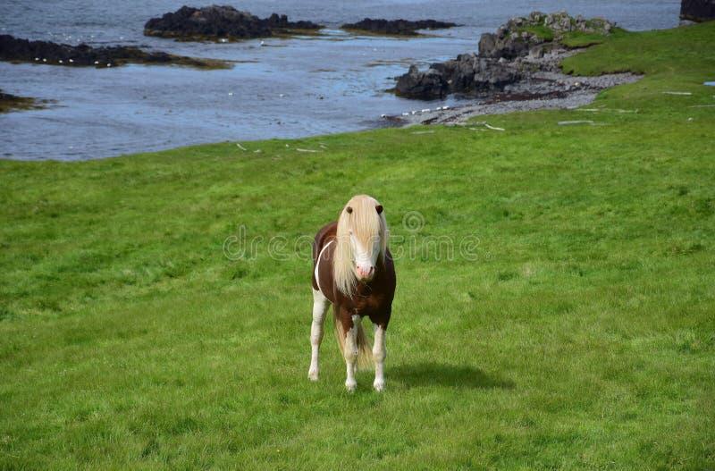 Lo stallone islandese nel colore ha spruzzato bianco, con paesaggio islandese nei precedenti immagine stock