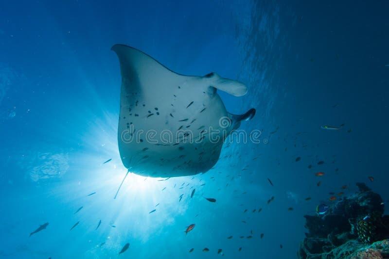Lo stingray che swooping in Maldive sotto il sole fotografia stock libera da diritti
