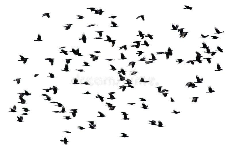 Lo stormo della diffusione delle ali di volo dei corvi del nero su un bianco ha isolato le sedere fotografie stock