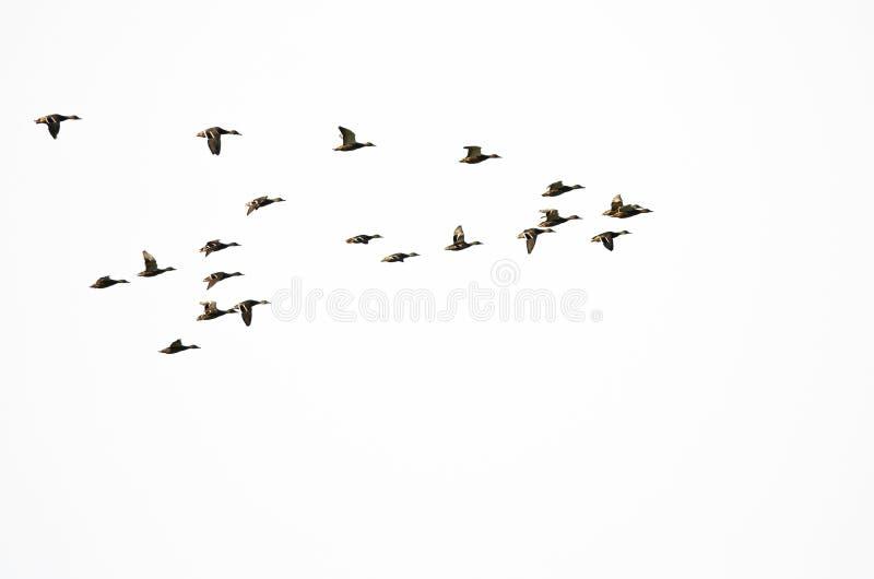 Lo stormo di Mallard Ducks il volo su un fondo bianco immagine stock libera da diritti