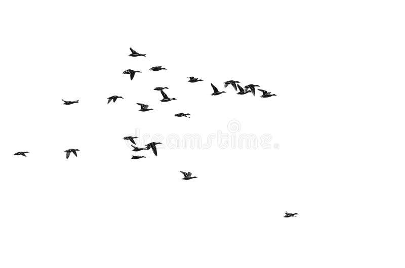 Lo stormo di Mallard Ducks il volo su un fondo bianco immagini stock