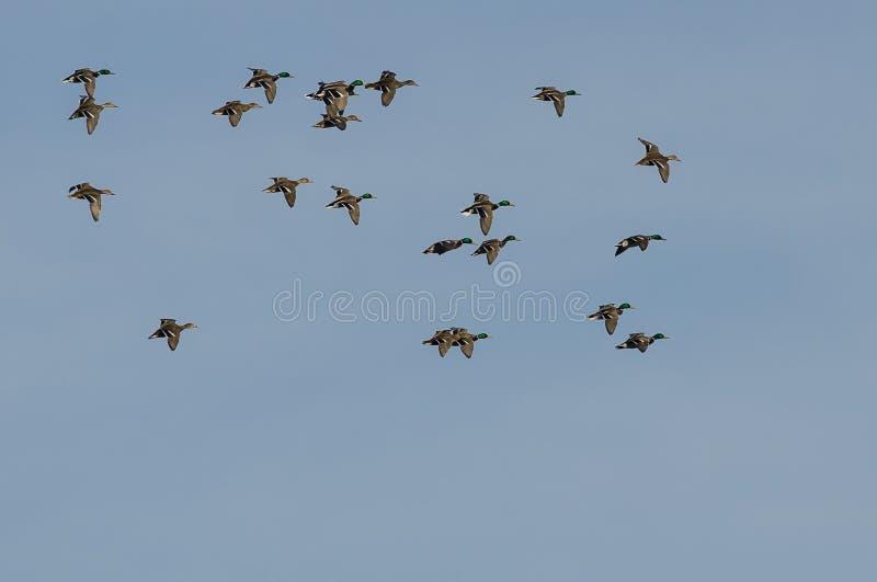 Lo stormo di Mallard Ducks il volo in un cielo blu fotografia stock libera da diritti