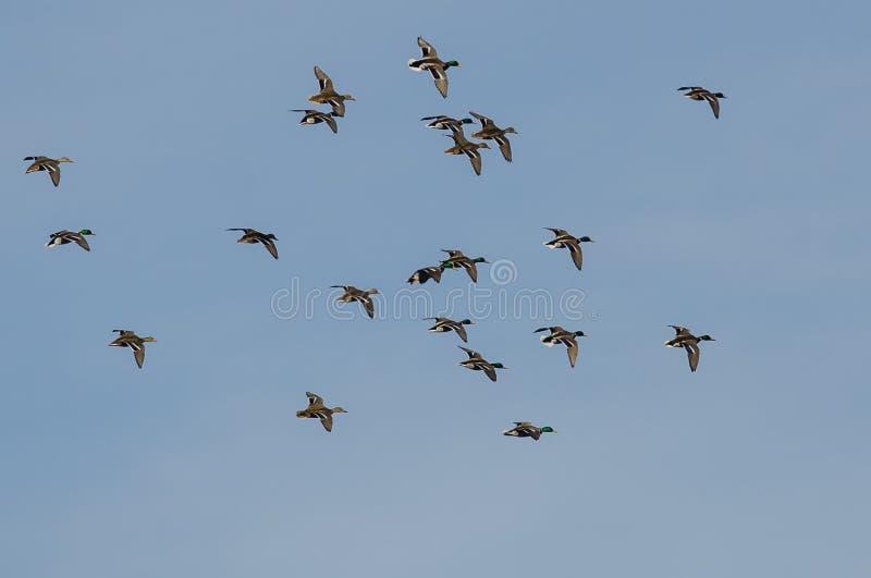 Lo stormo di Mallard Ducks il volo in un cielo blu immagine stock