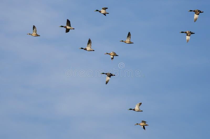 Lo stormo di Mallard Ducks il volo in un cielo blu immagini stock