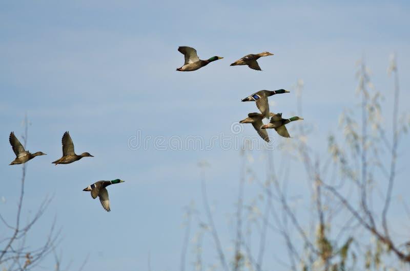 Lo stormo di Mallard Ducks la volata in basso sopra gli alberi immagini stock