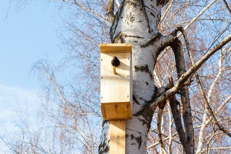 Lo storno guarda dal nido per deporre le uova fotografie stock libere da diritti