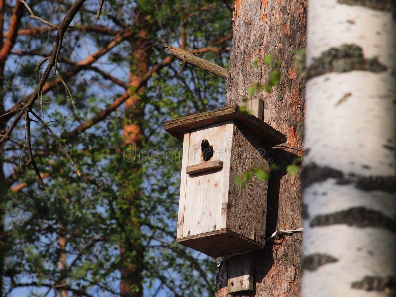 Lo storno guarda dall'aviario L'uccello sul nido fotografie stock libere da diritti