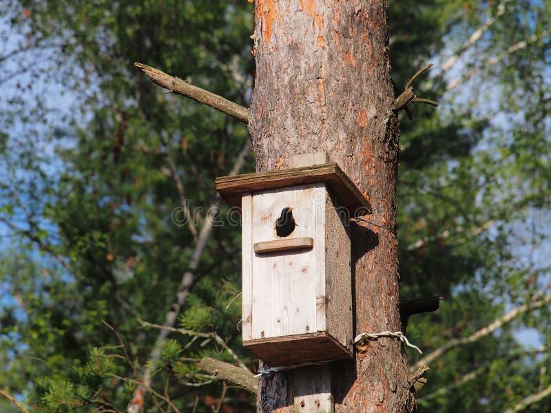 Lo storno guarda dall'aviario L'uccello sul nido fotografia stock
