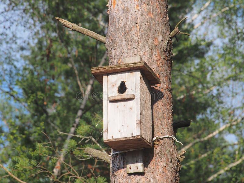 Lo storno guarda dall'aviario L'uccello sul nido immagine stock libera da diritti