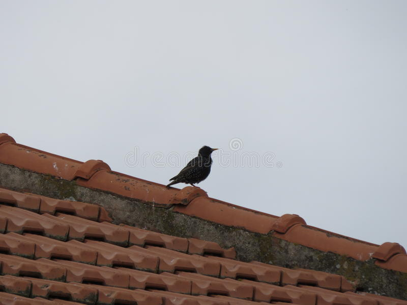 Lo storno. The transfer is a medium sized bird with dark morrons and a chest made up of white dots that are very hunted in italy royalty free stock images