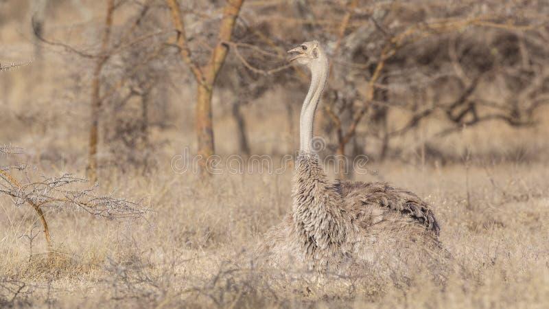 Lo struzzo somalo femminile cammina giusto fotografia stock libera da diritti
