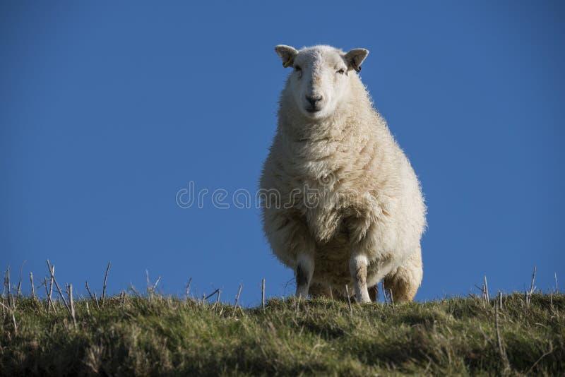 Lo studio su un sud si scola le pecore fotografie stock libere da diritti