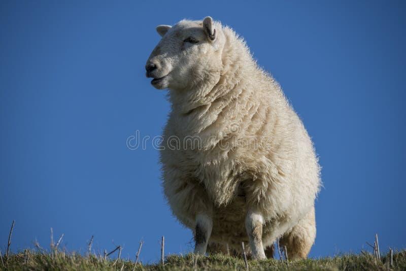 Lo studio su un sud si scola le pecore immagine stock