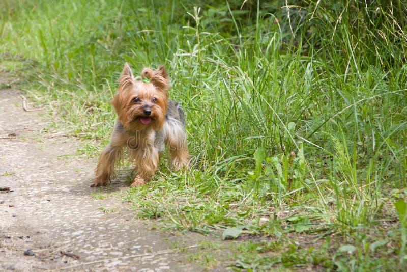 Lo Yorkshire Terrier è pronto a decollare e correre lungo una strada di campagna immagini stock libere da diritti