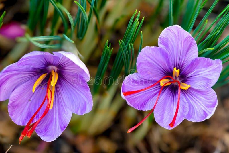 Lo zafferano è una spezia derivata dal fiore del crocus sativus fotografia stock libera da diritti
