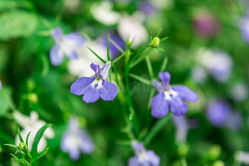 Lo zaffiro di trascinamento blu di Lobelia fiorisce o orlando il Lobelia, Lobelia del giardino fotografia stock
